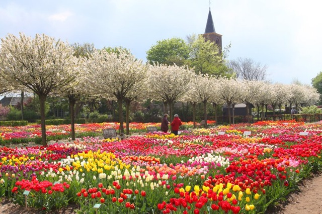 holland-tulips-03[1]