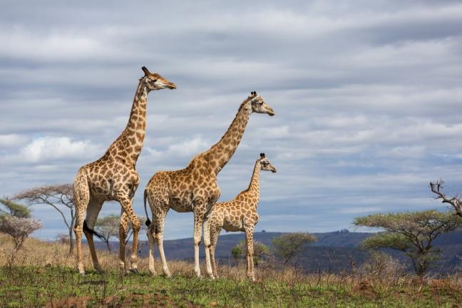 giraffes in game reserve